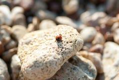 Una coccinella su una pietra del mare Immagini Stock