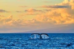 Una cola llamativa de la ballena vista de un barco del reloj de la ballena en la puesta del sol en Maui foto de archivo