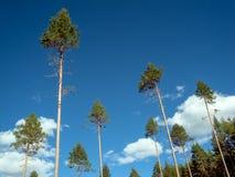 Una collezione di albero di abete alto completa con i tronchi di albero lunghi e nudi in sole che fa i picchi grafici naturali fr fotografia stock