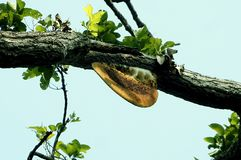Una colmena de la abeja de la miel en el árbol Imagen de archivo