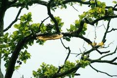 Una colmena de la abeja de la miel en el brabch del árbol Fotografía de archivo