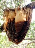 Una colmena salvaje de la abeja Imágenes de archivo libres de regalías