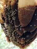 Una colmena salvaje de la abeja Fotos de archivo