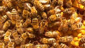 Una colmena sana de la abeja con la reina en el centro de la foto Fotos de archivo libres de regalías