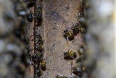 Una colmena, una visión desde el interior La abeja-choza Abeja de la miel Entrada a la colmena Imagen de archivo libre de regalías