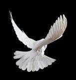 Una colomba bianca di volo libero isolata sul nero fotografie stock