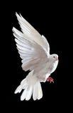Una colomba bianca di volo libero isolata sul nero immagine stock libera da diritti