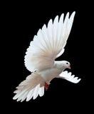 Una colomba bianca di volo libero isolata sul nero Fotografia Stock