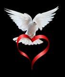Una colomba bianca di volo libero isolata sul nero Immagini Stock