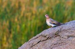 Una colomba che si siede sulla roccia nel suo habitat naturale Fotografie Stock