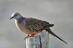Una colomba che sta sul legno Immagine Stock Libera da Diritti