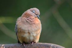 Una colomba di risata con lei occhi chiusi Fotografia Stock
