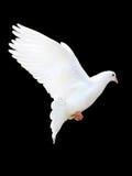 Una colomba libera di bianco di volo fotografia stock libera da diritti