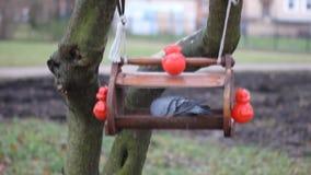 Una colomba mangia il grano dalla depressione video d archivio