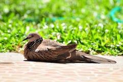 Una colomba sul pavimento sviluppato con luce solare Fotografia Stock Libera da Diritti