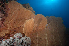 Una colonia de ventilador de mar gigante sano (mollis del annella) Foto de archivo