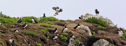 Una colonia del frailecillo atlántico con muchos pájaros Imagen de archivo