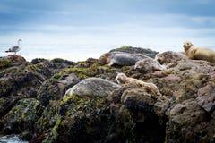 Una colonia di corvi delle guarnizioni Fotografia Stock Libera da Diritti