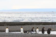 Una colonia di re Penguins, patagonicus dell'aptenodytes, riposante sulla spiaggia a Parque Pinguino Rey, Tierra del Fuego Patago Fotografia Stock Libera da Diritti