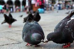 Una comida de las palomas salvajes - mensajeros en Italia Imagenes de archivo