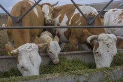 Una comida de las vacas 2 Imagen de archivo libre de regalías