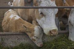 Una comida de las vacas 5 Imagen de archivo
