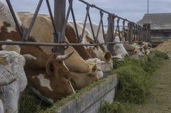 Una comida de vacas Imagen de archivo