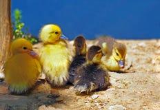 Una compañía de pequeños anadones lindos Fotos de archivo