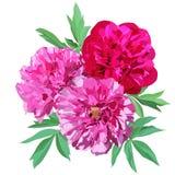 Una composizione di tre grande rosa e peonie rosse isolati su un fondo bianco illustrazione di stock