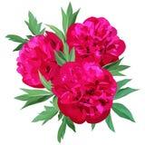 Una composizione di tre grandi peonie rosse dei fiori con le foglie isolate su fondo bianco illustrazione vettoriale