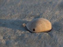 Una concha marina Imagenes de archivo