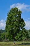 Una condizione sola dell'albero nel campo con il fondo del cielo blu al Kashmir India fotografia stock libera da diritti