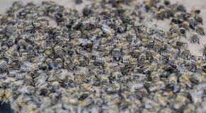 Una congestión grande de abejas en una hoja de la cartulina El pulular de las abejas Abeja de la miel Imágenes de archivo libres de regalías