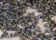 Una congestión grande de abejas en una hoja de la cartulina El pulular de las abejas Abeja de la miel Fotografía de archivo libre de regalías