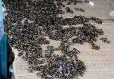 Una congestión grande de abejas en una hoja de la cartulina El pulular de las abejas Abeja de la miel Fotografía de archivo