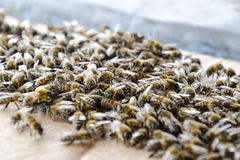 Una congestión grande de abejas en una hoja de la cartulina El pulular de las abejas Abeja de la miel Foto de archivo