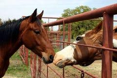 Una conversazione dei due cavalli Fotografie Stock