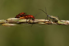 Una coppia accoppiamento il soldato rosso Beetle & x28; Fulva& x29 di Rhagonycha; e un cimice del prato & un x28; Dolabrata di Le Immagini Stock