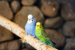 Una coppia amorosa del parakeet Fotografie Stock