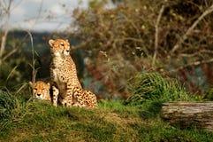 Una coppia del ghepardo Fotografie Stock