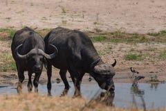 Una coppia di bufalo che beve al fiume nel cittadino di Ruaha immagine stock libera da diritti