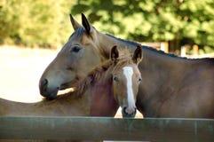 Una coppia di cavalli Fotografia Stock