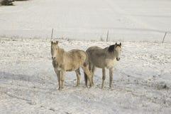 Una coppia di cavalli che si levano in piedi nella neve bianca Immagini Stock Libere da Diritti