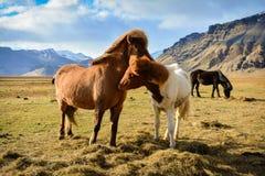 Una coppia di cavallo islandese in un giorno ventoso fotografia stock