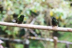 Una coppia di colibrì Fotografia Stock Libera da Diritti