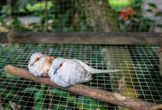 Una coppia di colombe nella gabbia Immagine Stock