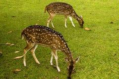 Una coppia di deers sull'erba Fotografie Stock Libere da Diritti