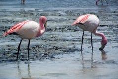 Una coppia di fenicotteri rosa si alimentano sulla superficie del lago della salina - Laguna Hedionda Immagine Stock Libera da Diritti