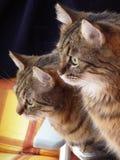 Una coppia di gatti Fotografia Stock Libera da Diritti