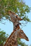 Una coppia di giraffa Immagine Stock
